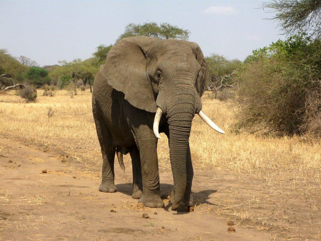 elephant, animal, safari-114543.jpg