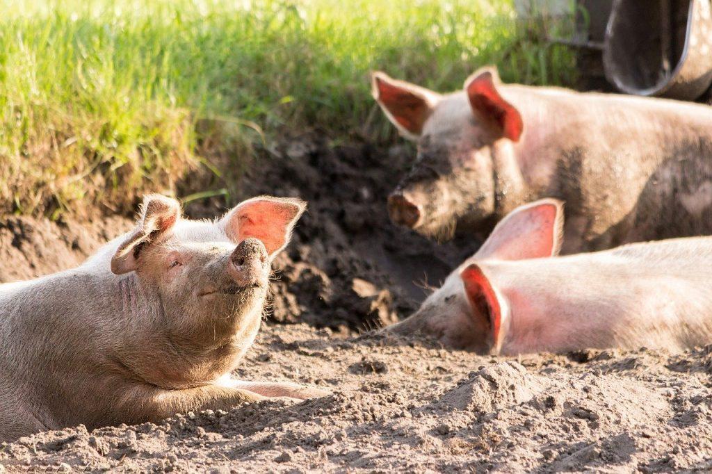 pigs, cute, funny-4028140.jpg