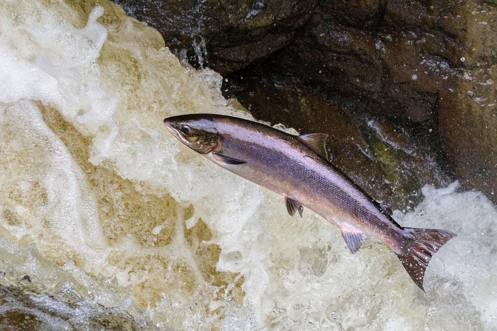salmon, leaping, salmon leaping-3704543.jpg